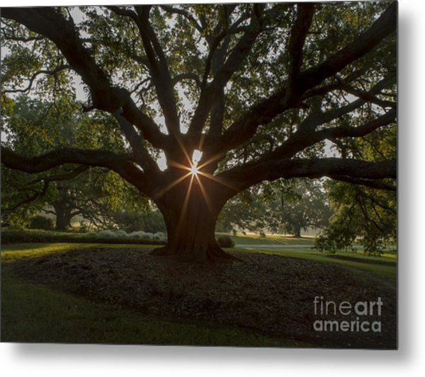Live Oak With Early Morning Light Metal Print by Kelly Morvant