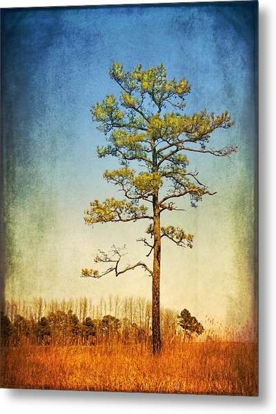 Loblolly Pine Along The Chesapeake Metal Print