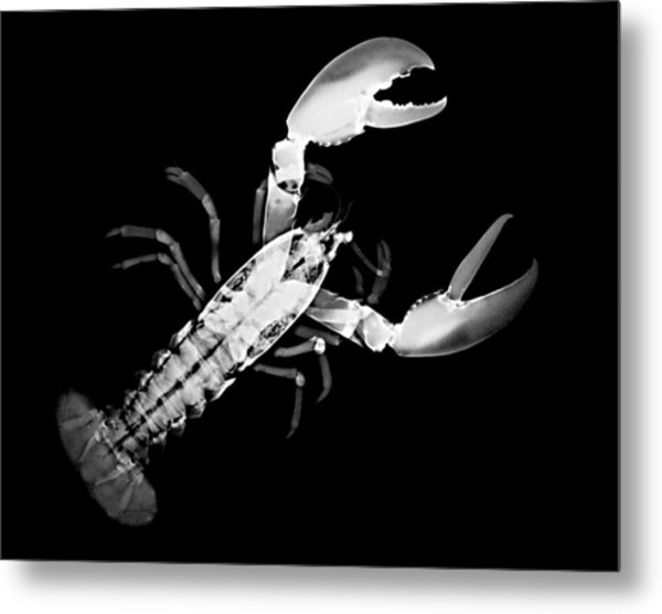Lobster Metal Print by William A Conklin