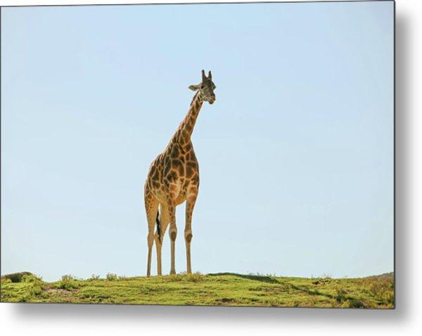 Lone Giraffe Metal Print by Daniela Duncan