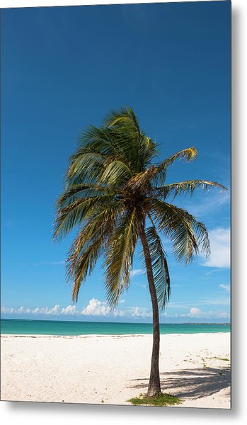 Lone Palm Tree, Palm Beach, Aruba Metal Print