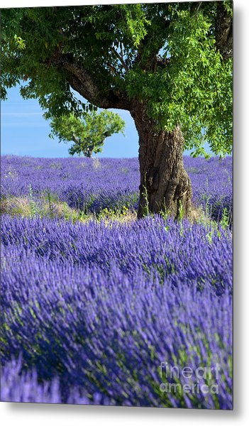 Metal Print featuring the photograph Lone Tree In Lavender by Brian Jannsen