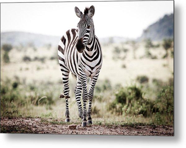 Lone Zebra Metal Print