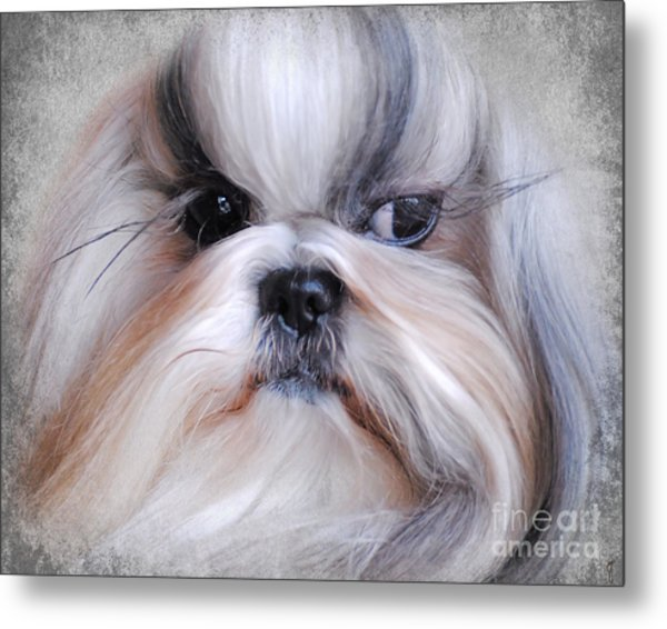 Long Haired Shih Tzu Metal Print