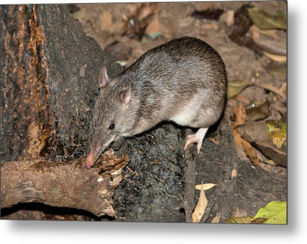 Long-nosed Potaroo Metal Print by Louise Murray