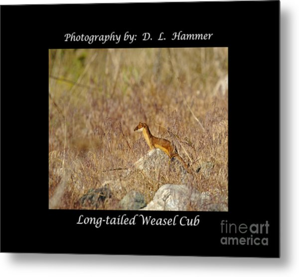 Long-tailed Weasel Cub Metal Print by Dennis Hammer