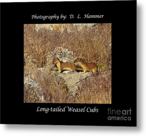 Long-tailed Weasel Cubs Metal Print by Dennis Hammer