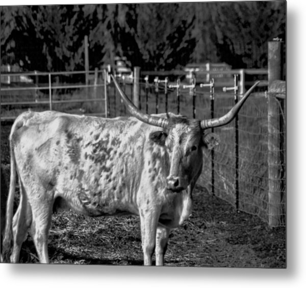 Metal Print featuring the photograph Longhorn Steer Down by William Havle