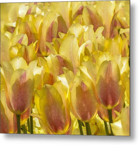 Longwood Gardens Tulips Metal Print by Jill Balsam