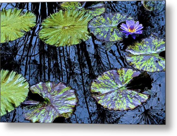 Longwood Lily Metal Print by Thomas Camp