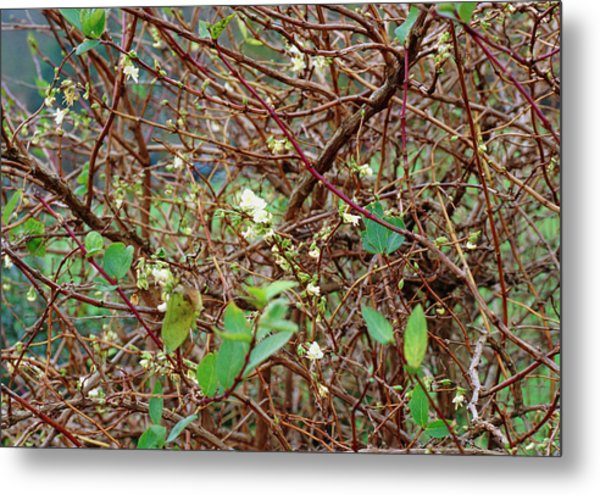 Lonicera X Purpusii Winter Beauty. Metal Print by Adrian Thomas/science Photo Library