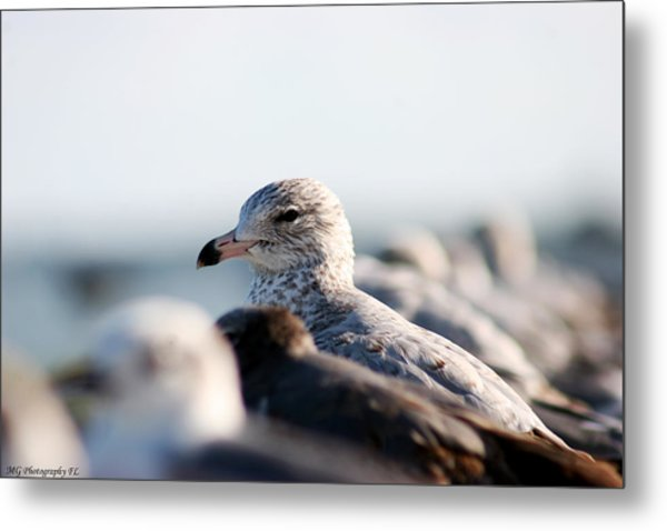 Looking Seagull Metal Print