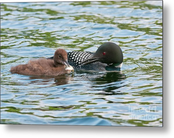 Loon And Baby Metal Print