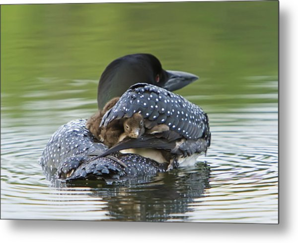 Loon Chick - Peek A Boo Metal Print