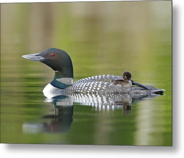 Loon Chick With Parent - Quiet Time Metal Print