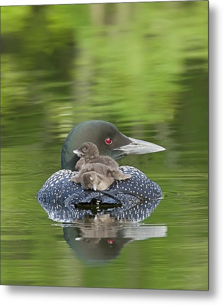 Loon Chicks -  Nap Time Metal Print