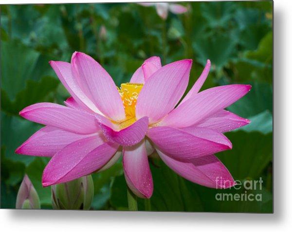 Lotus Flower 2 Metal Print