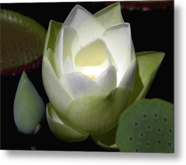 Lotus Flower In White Metal Print