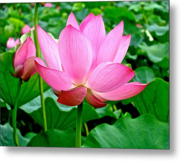 Lotus Heaven - 68 Metal Print