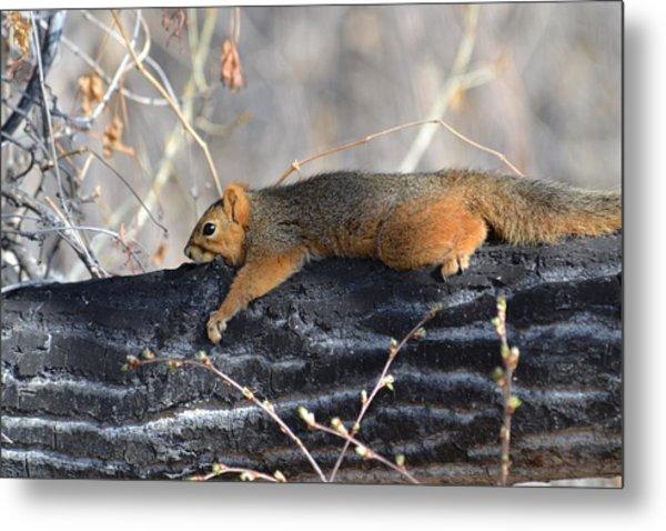 Lounging Fox Squirrel Metal Print