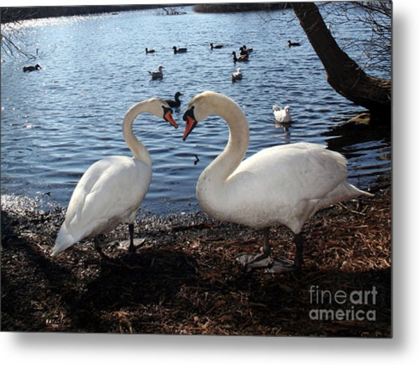 Love Bird Swans Metal Print