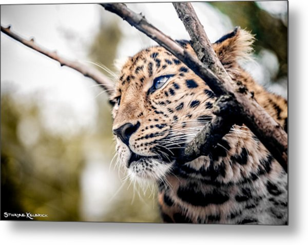 Love Panther Iv Metal Print
