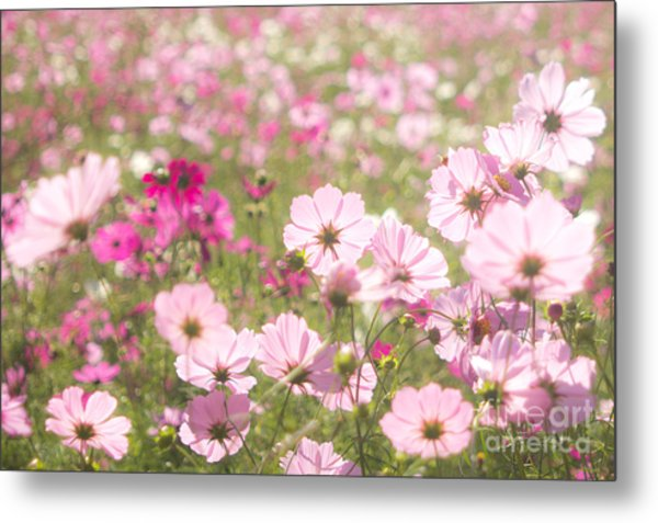 Lovely Backlit Pink And Fuchsia Cosmos Flower Field Metal Print