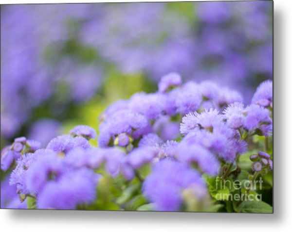 Lovely Blue Mink With Lavender Tones In Soft Focus Metal Print