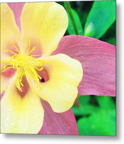 Lovely Columbine Flower Metal Print