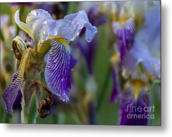 Lovely Iris Metal Print