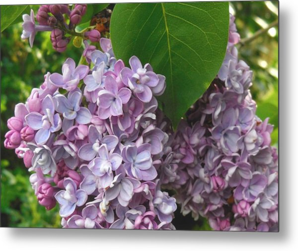 Lovely Luscious Lilacs Metal Print