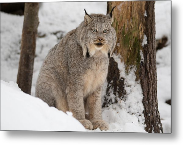 Lovely Lynx Metal Print