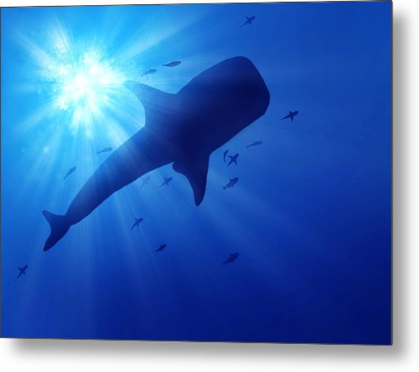 Low Angle View Of Whale Swimming In Sea Metal Print by Stijn Dijkstra / Eyeem