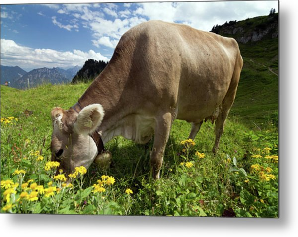 Lucky Cow Metal Print