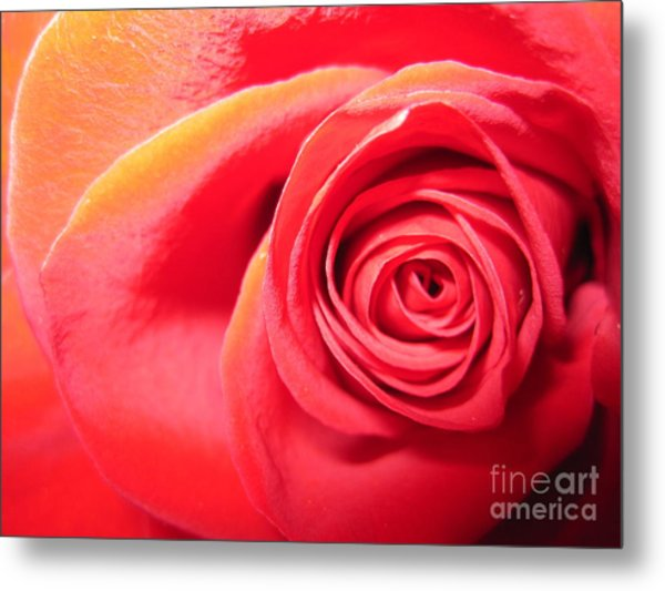 Luminous Red Rose 1 Metal Print