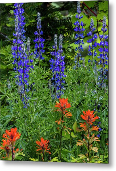 Lupine And Indian Paintbrush Metal Print