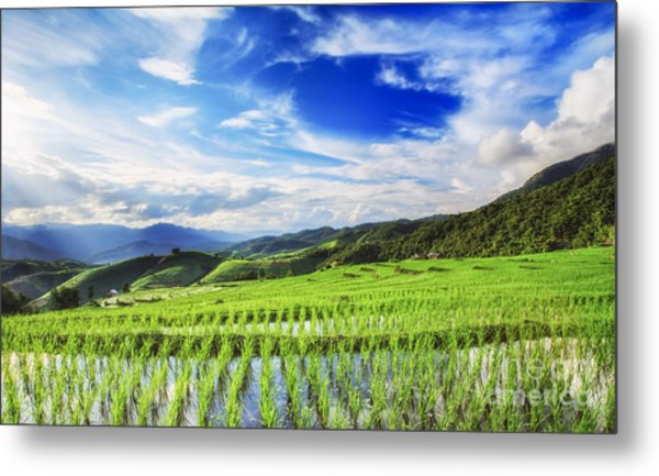 Lush Green Rice Field  Metal Print