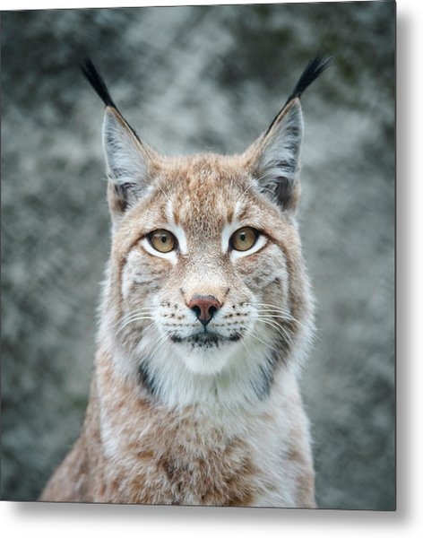 Lynx Portrait Metal Print by Photographs By Maria Itina