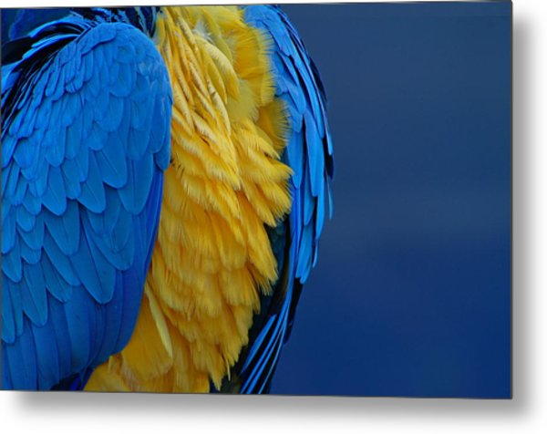 Macaw Blue Yellow Blue Metal Print by Colleen Renshaw