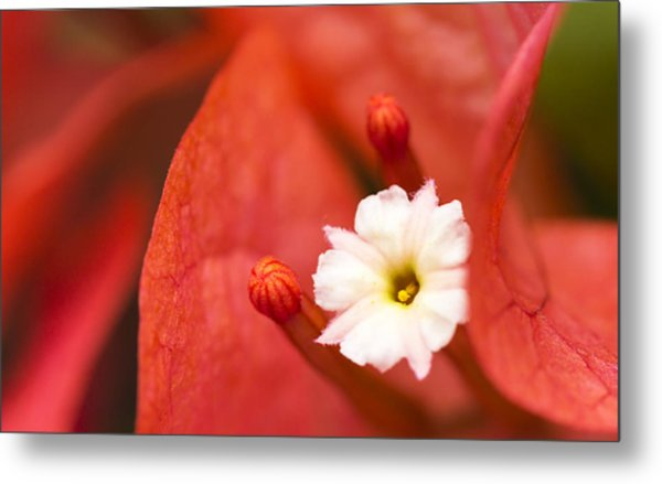 Macro Bougainvillea Bloom 1 Metal Print