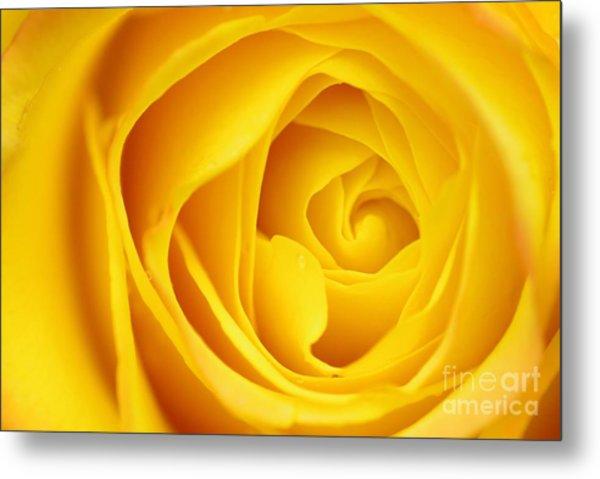 Macro Yellow Rose Metal Print by Patrick Dinneen