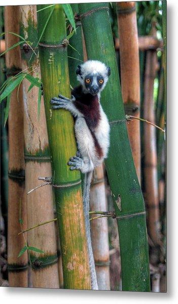 Madagascar Sifaka Baby Lemur Metal Print by Mariusz Kluzniak