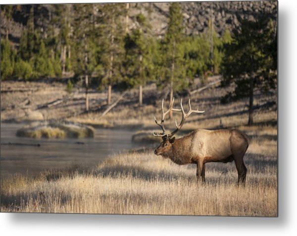 Madison River Elk Metal Print