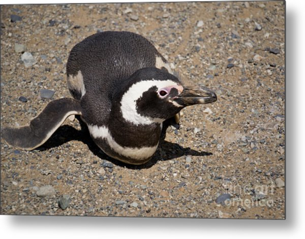 Magellanic Penguin On Its Belly Metal Print
