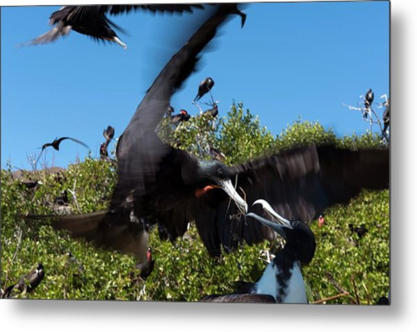 Magnificent Frigatebirds Metal Print