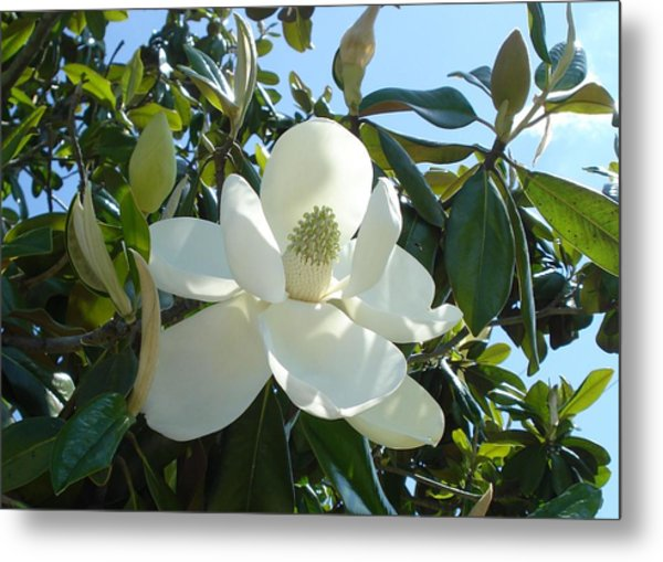 Magnificent Magnolia Metal Print
