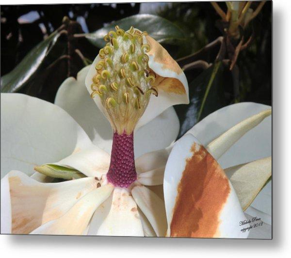 Magnolia Magnicence  Metal Print