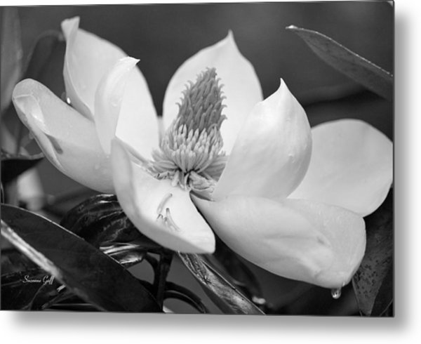 Magnolia In May - Black And White Metal Print