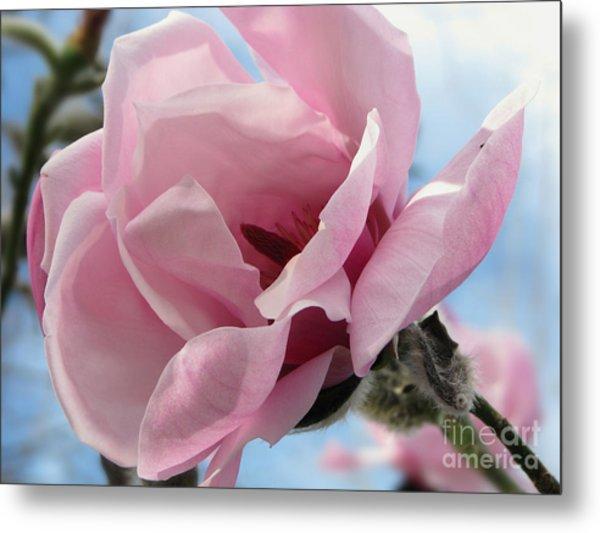 Magnolia In Spring Metal Print
