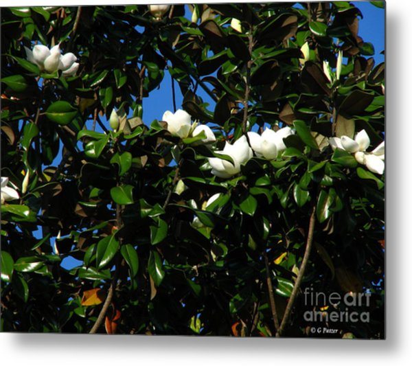 Magnolia Setting Metal Print by Greg Patzer